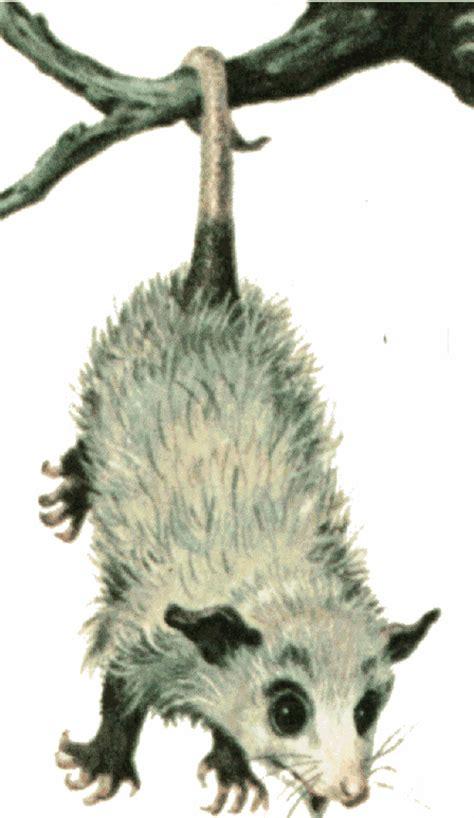 opossum clipart opossum clip cliparts