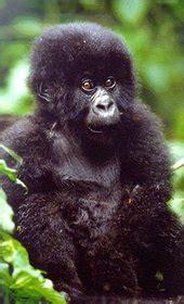 gorilla habitats securing  environment observing