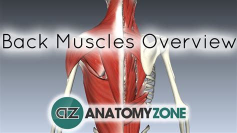 When treating your shoulder pain, what. Back Muscles in a Nutshell - Anatomy Tutorial - YouTube