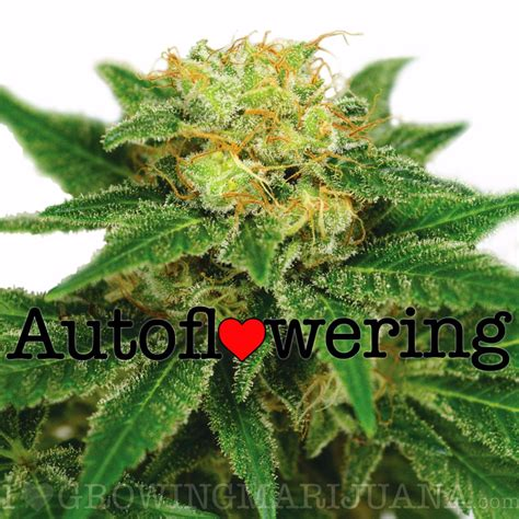 northern lights leafly northern lights autoflowering seeds by i growing