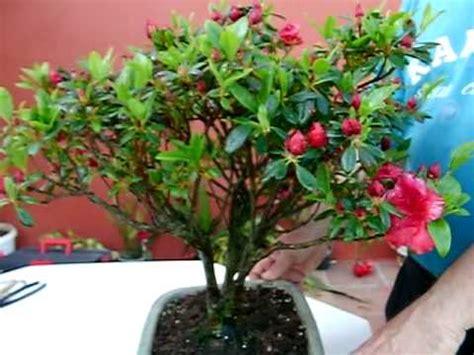 azalea japonica en pot azalea japonica en flor
