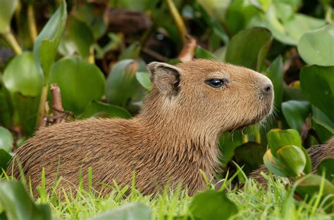 capybara wallpapers images  pictures backgrounds
