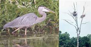 WCLT - Nature Notes 4/30/2004 - Great Blue Herons at Mill Pond
