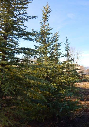 Fast Growing Colorado Spruce Trees