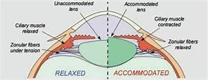 Biomechanical response of the in situ primate lens | The ...