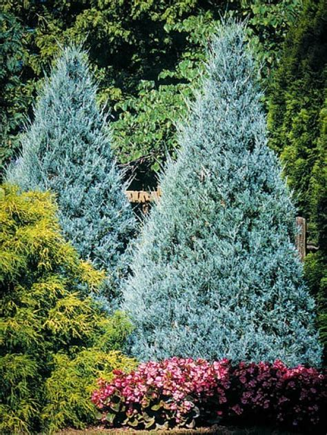 evergreen privacy trees  sale  tree center