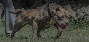 Most Muscular Dog In The World