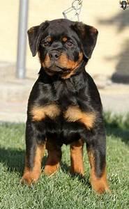 Best 25+ Rottweiler puppies ideas on Pinterest Cute
