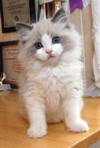 cat personalities ragdoll cat history personality appearance health and