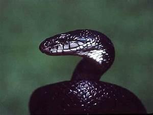 Black King Cobra Snakes