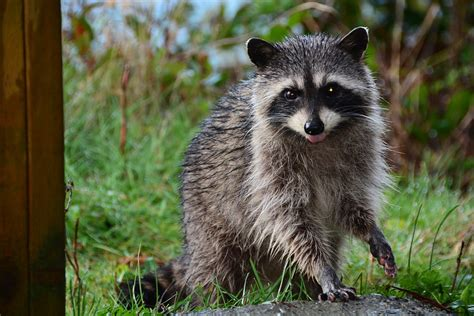 How To Catch A Raccoon In My Backyard by How To Catch A Raccoon In Your Backyard