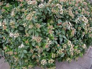 Arbuste Persistant Croissance Rapide : arbustes pour une haie persistante lesquels choisir ~ Premium-room.com Idées de Décoration