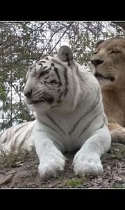 Amazing Lion + White Tiger = True Love 2019 Youtube - YouTube