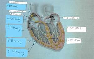 Conduction System Of The Heart And Electrocardiography  Ex 31  Flashcards