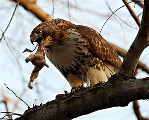 Hawk Eating Cat