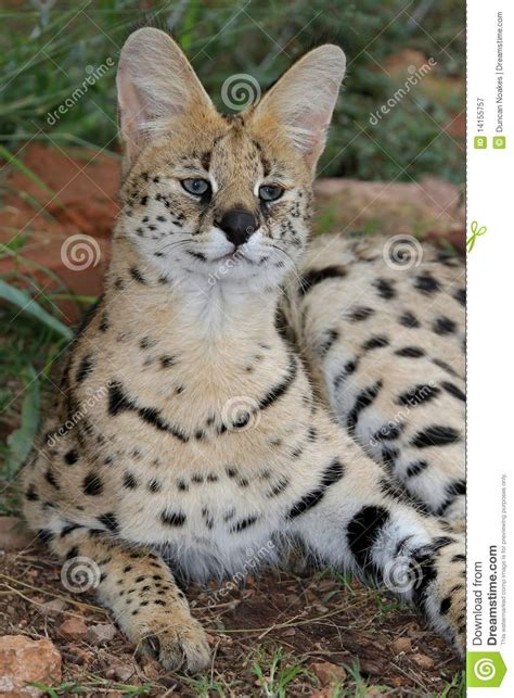 serval wild cat royalty  stock photography image