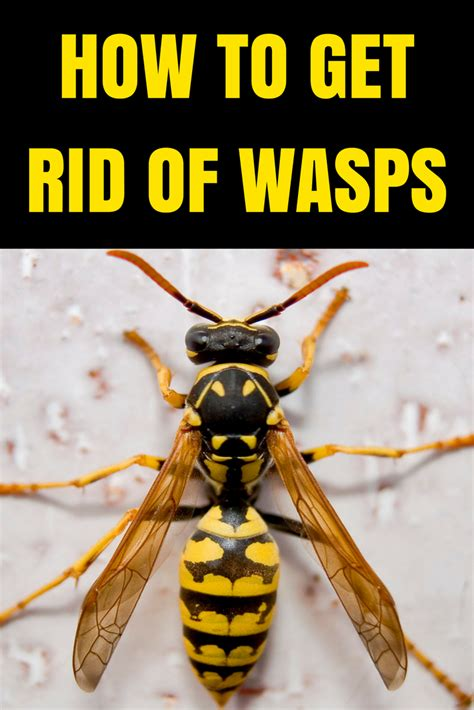 how to get rid of hornets how to get rid of wasp hornets