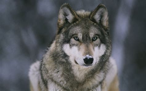 48 hd wolf wallpapers on wallpapersafari