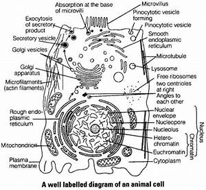 Draw A Neat Labelled Diagram Of An Animal Cell