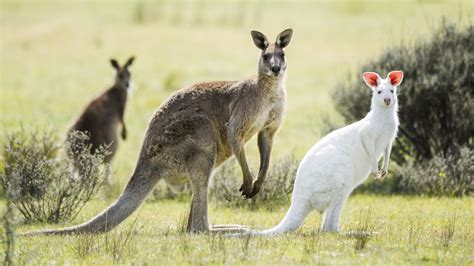 white kangaroo spotted in south australia national