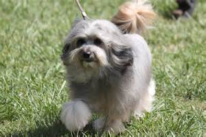 Lowchen Breed Information, Lowchen Images, Lowchen Dog
