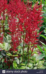 Red flowers of garden plant Astilbe japonica Red Sentinel ...