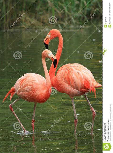 flamingo stock photo image