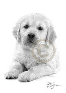 Golden Retriever Puppy Pencil Drawings