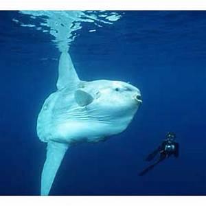 Ocean sunfish :o | love | Pinterest