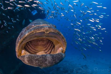 grouper goliath florida near chris parsons nauticam fl canon castor 15mm boynton 5d iii mark shot