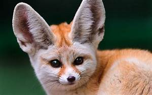 Fennec Fox | Facts About Foxes