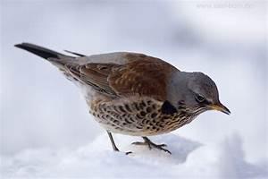 Heimische Singvögel Bilder : singv gel naturfotografie axel horn ~ Whattoseeinmadrid.com Haus und Dekorationen