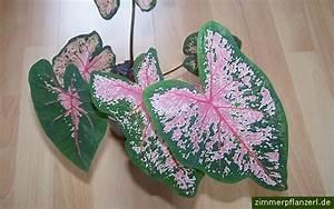 Zimmerpflanze Mit Roten Blättern : kaladie buntwurz caladium bicolor ~ Eleganceandgraceweddings.com Haus und Dekorationen