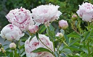 Pfingstrose Sarah Bernhardt : chinesische pfingstrose pflanzen und pflegen mein sch ner garten ~ A.2002-acura-tl-radio.info Haus und Dekorationen