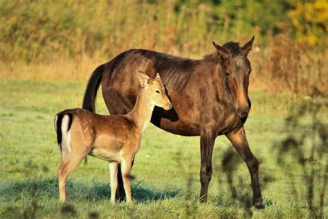 deer horses foal horse fawn friends play mrs orphaned mother gently groom visits field every playing young around than believes