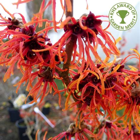 witch hazel shrub varieties hamamelis x intermedia jelena orange witch hazel trees shrubs