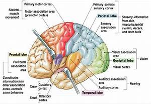 The Human Brain Cortex And Its Parts  16