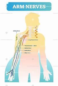 Human Arm Nerves Anatomical Diagram Vector Illustration