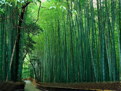 garden bamboo tips on growing and maintaining bamboo plants