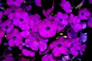 Dark Purple Flowers