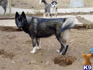 Harry Potter The Deathly: husky wolf mix