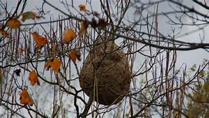 Essaim De Frelon : frelon asiatique un bon nid c 39 est un nid par terre ~ Melissatoandfro.com Idées de Décoration
