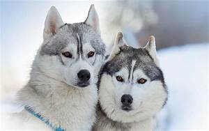 White Husky Wolf Mix - wallpaper.