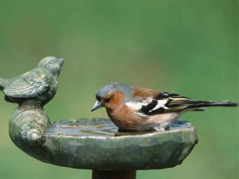 wie oft brüten meisen badender buchfink