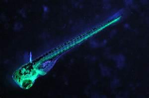 Fluorescent Zebrafish - NIGHTSEA Stereo Microscope ...