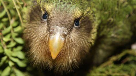 kakapo recovery kkp doc nz chick