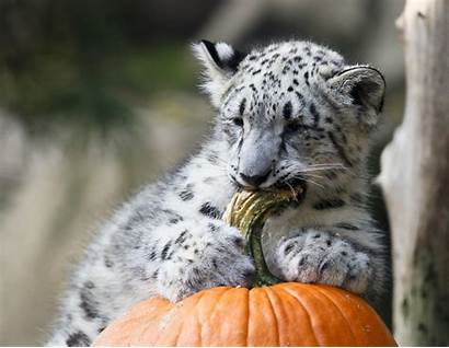 Zoo Animals Pumpkins Halloween Today Snow Leopard