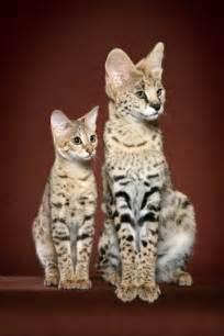 savanah cats cat poc