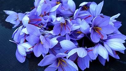4k Flowers Spring Wallpapers Saffron Flower Nature