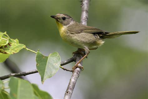 north carolina mountain birds common yellowthroat